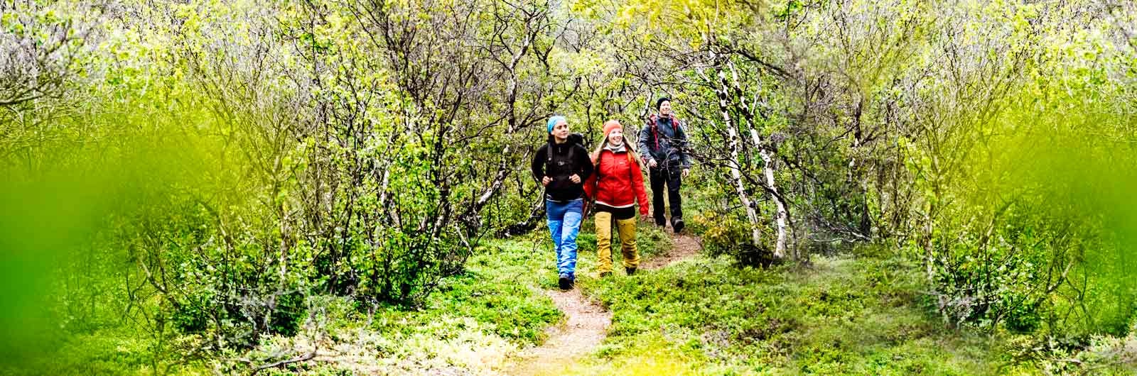 Three hikers in birch forest on Kungsleden